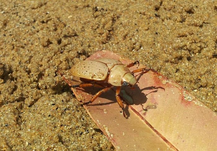 Mr Christmas Beetle