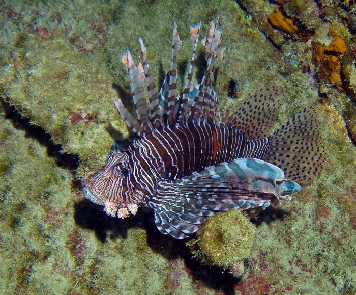 Fire Lionfish