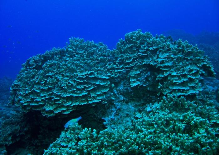 Edna's Anchor coral